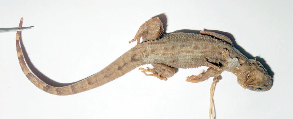 92 Herbert Rösler et al. Figure 4. ZSM 245/0, originally catalogued as Cyrtodactylus marmoratus (Gray, 1831) from Java, and now reidentified as Gymnodactylus geckoides Spix, 1825 from Brazil. scales.