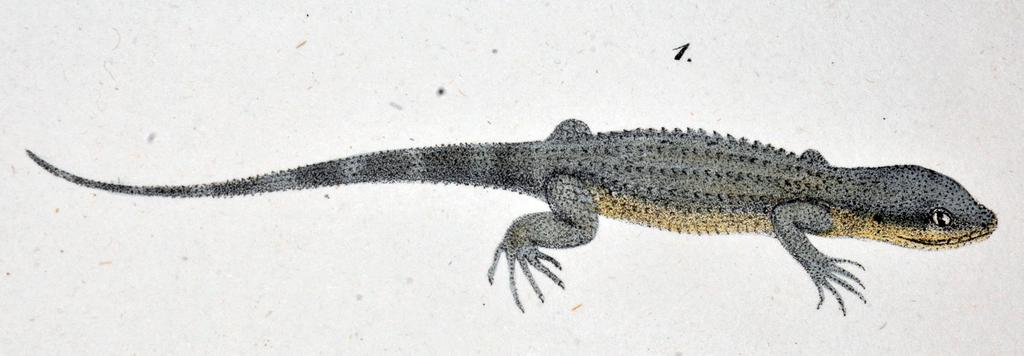 94 Herbert Rösler et al. Figure 5. The original illustration of Gymnodactylus geckoides (Spix 1825: Tafel 18, Fig. 1), which Vanzolini (2004) considered the holotype (as an iconotype ).