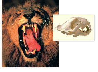 Lion Skull Characteristics of Mammals The group of vertebrates called mammals is a diverse group whose members share many characteristics.