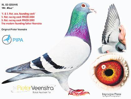 Mr Blue won 1st and 3rd National Ace Pigeon of Holland in the WHZB competition and was bred from Mr Surhuizum x The Super Breeder from van der Veen.