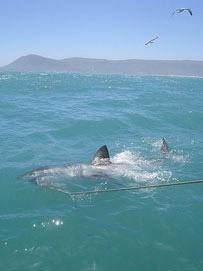 Dare #16 Cage Diving With Great White Sharks and grab the bar where their knees previously rested.