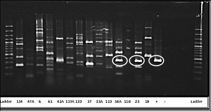 Figure 4. Gel shows results of PCR using primers CTX- M1. Potential matches, 58A and 23 are encircled in the picture. Identity of isolates are presented in table 8.