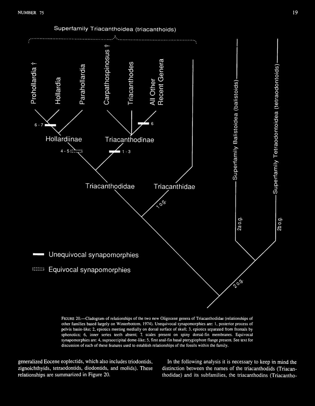 Cladogram of relationships of the two new Oligocene genera of Triacanthodidae (relationships of other families based largely on Winterbottom, 1974).