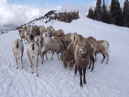 103 Table 2. Winter selenium levels (ppm wet weight) in whole blood of 214 bighorn sheep from 6 herds in the Oregon, Washington, and Idaho portions of Hells Canyon, 1997 to 2005.