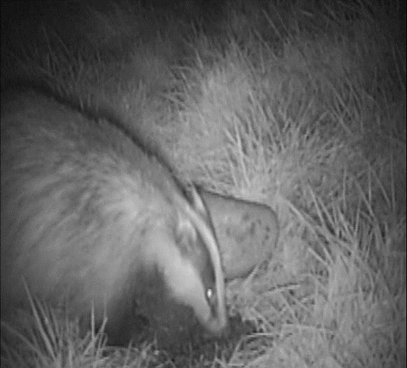 An investigation into the activity of European badgers,meles meles, on the Chester Zoo estate Why is this important?