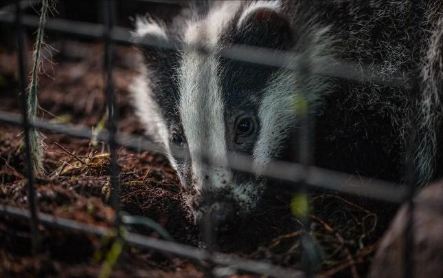 Badger vaccination is a more humane control mechanism which has proven to reduce the severity and progression of btb and reduce excretion of M. bovis by badgers.