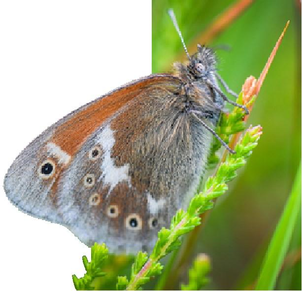 Flutter back: The return of the Large Heath butterfly Why is this important?