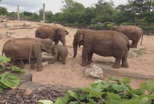 The strength of social bonds between individual elephants influences group cohesion and consequently health and well being.