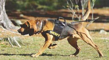 K9 Blue was donated to the sheriff s office at the age of six months. He received his training and certifications through the National Police Bloodhound Association, along with the Norther Hounds Men.