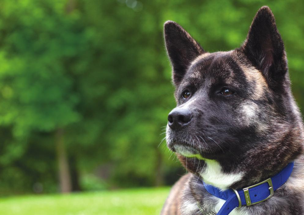 Welcome In 2013, Foxy, a one year-old Akita, found herself on a life-changing journey, which started when her world turned upside down and she urgently needed Battersea s help, and ended with the