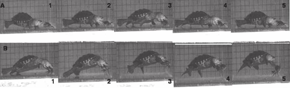 192 Biology of Turtles Figure 8.2 Two typical feeding sequences of Malaclemys attacking a defending crab. These sequences show the complex interaction between the turtle and the living prey.