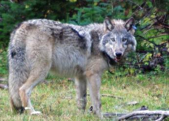 STATE OF CALIFORNIA NATURAL RESOURCES AGENCY DEPARTMENT OF FISH AND WILDLIFE REPORT TO THE FISH AND GAME COMMISSION A STATUS REVIEW OF THE GRAY WOLF