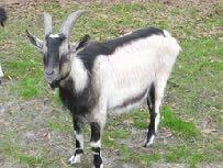 THE TYPE OF THE GOAT OF THE