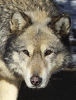 I came to Wild Spirit when I was about 5 weeks old in 2010 with my mom, Gypsy, and my brothers.