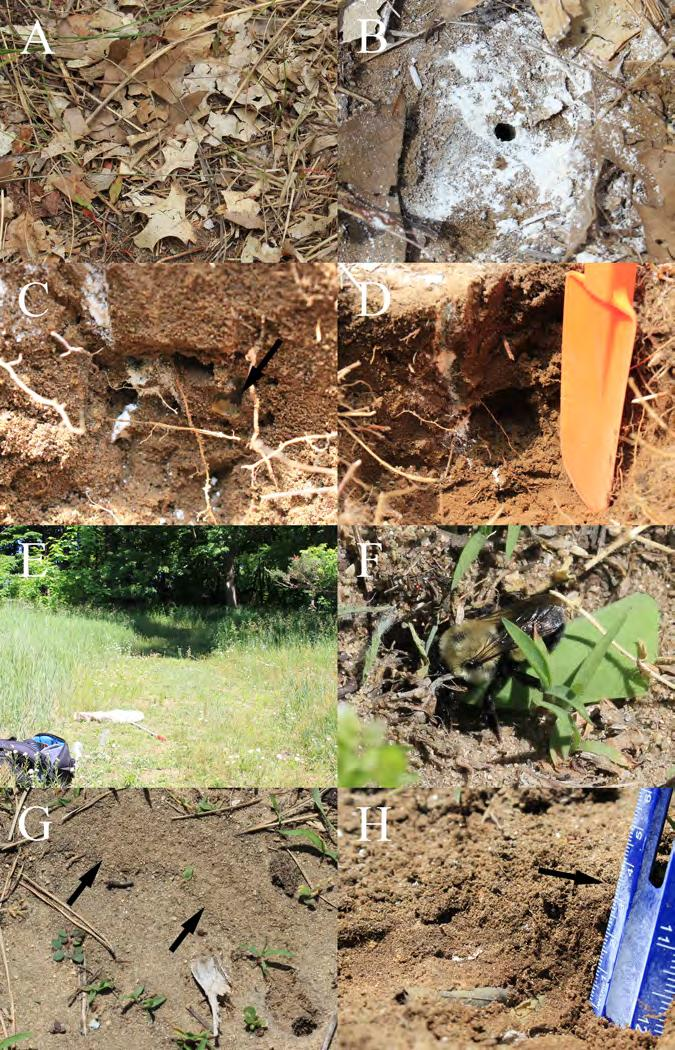 Gibbs: Halictid and megachilid bee nests of Central Michigan 2017 THE GREAT LAKES ENTOMOLOGIST 19 Figure 1. A-D Nesting site of Augochloropsis metallica fulgida. A. Nest entrance of A. m. fulgida obscured by leaves.