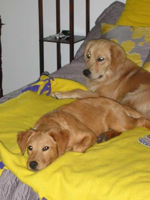 Happy Endings Devon now Ruby (in front) with her Golden companion Ginger.
