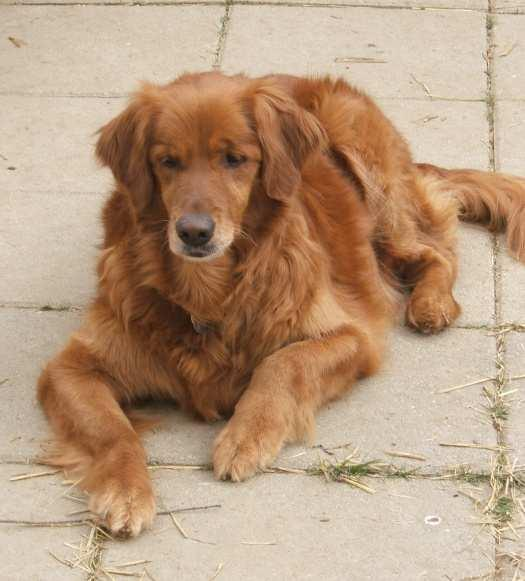 In Loving Memory The following Goldens have recently gone to the bridge. Georgie Girl lost her battle with cancer and is now running cancer free at the bridge. Age unknown.