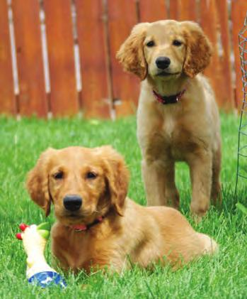 Golden Angels - Pippa & Ann by Linda Hartman It was a beautiful summer day when Little Ann and Pippa a pair of tiny 12-week-old Golden puppies arrived at Phoebe's Place.