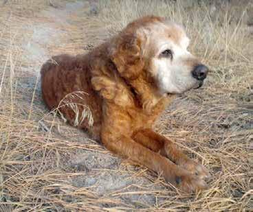After a time of good diet and allergy medication, his coat grew back full and thick, with beautiful red curls. His long legs and shorter hair were perfect for living out in the country.