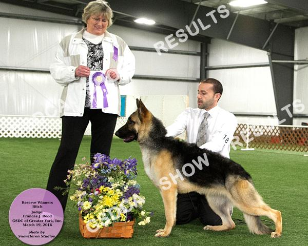 BITCHES Puppy 6-9 Mos. BITCH 6 Abs COLBYHAUS GSDSTYLE MEMORY LANE SHOLAN DN437916/01 08/05/15 By: Ch. Kem-Delaines Egoiste X Gch. Colbyhaus Dancin In The Willows Breeder: L. & S.