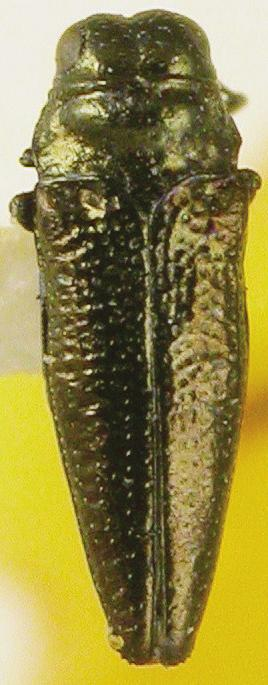 Taphrocerus subpolitus: holotype (, MNCN): Costa Rica, San Isidro (E. Reimoser). The holotype of T. subpolitus is conspecific with the lectotype of T. exiguus. The name T.