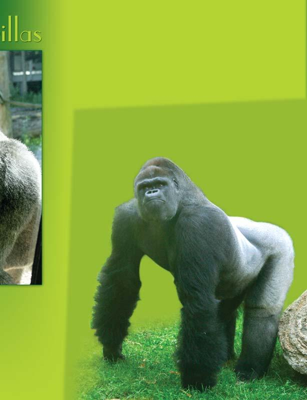 The future for gorillas is uncertain.