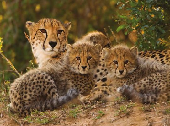 Social Behavior Cheetah Anatomy SMALL HEAD Unless they are raising cubs, female cheetahs are solitary, which means they live on their own.