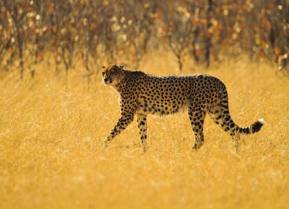 TEAR MARKS FLEXIBLE SPINE SPOTTED FUR LONG LEGS 7 DISCOVERY BADGE Terrific Territory Cheetahs are known for the dark spots that cover their fur.