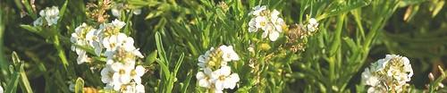 Florida Native Plant Society ~ Sea Rocket Chapter ~ Serving Central & North Brevard