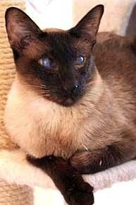 Chapter 3: Siamese Genetics Explained Siamese cats are one of the oldest breeds of domesticated cats. They were originally imported from Siam (Thailand).