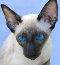 In the case of the Seal Point Siamese, the cat is born pure black but the pointing gene will cause the coat colours to lighten on certain points of the body to a fawn colour.