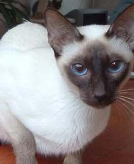 Some seal point Siamese will have a variation in shades such as appearing to look black and white.