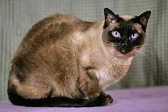 Chapter 1: Understanding Siamese Cats The Siamese breed of cat has gone through some changes in their appearance over the last hundred years.