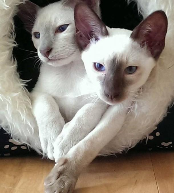 Siamese. All our kittens have been well placed in show and pet homes and are lovingly reared as part of our family.