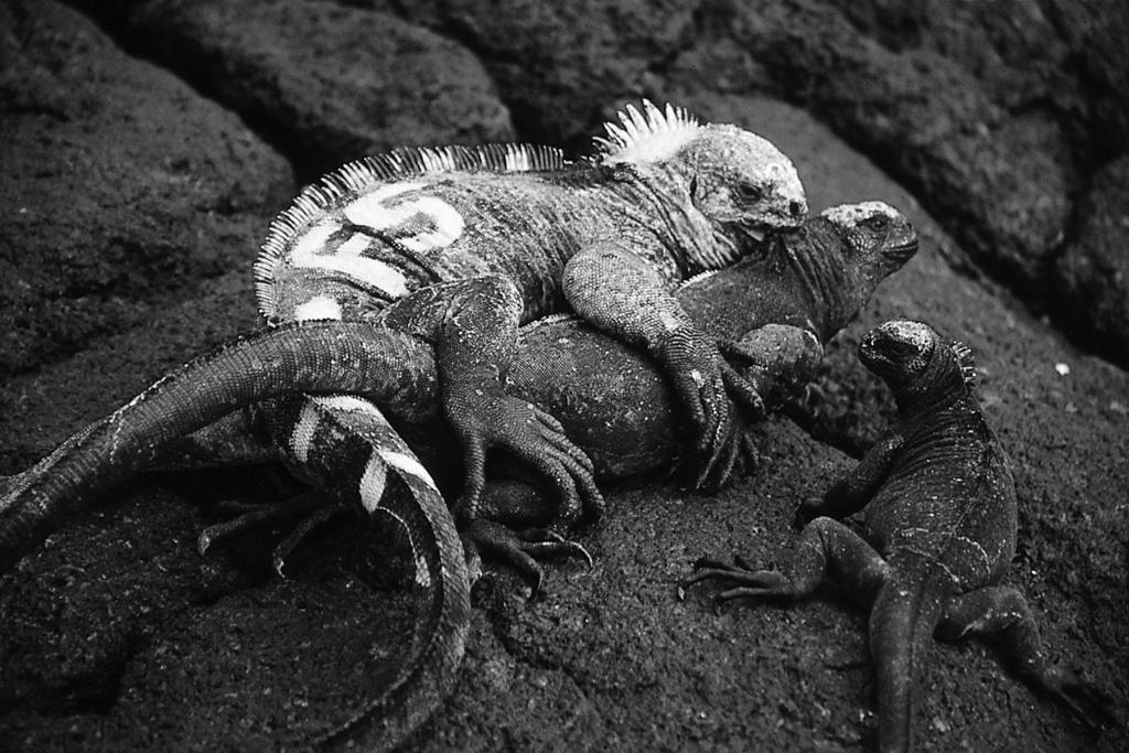 November 2003 A PROXIMATE CUE FOR REPRODUCTIVE TIMING 3015 PLATE 1. Territorial marine iguana in the midst of a successful copulation. Photo credit: D. R. Rubenstein.