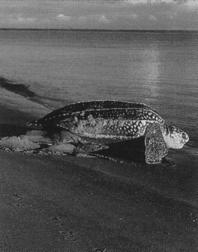 Sea turtles are reptiles enclosed in an armor-like shell that is fused to