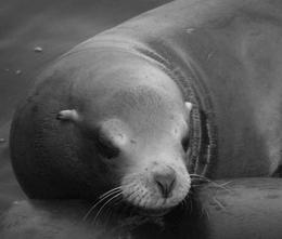 It serves three purposes; 1. Reserve for food. 2. Help in buoyancy. 3. Helps to keep in the heat. Sea Lions vs. Seals!