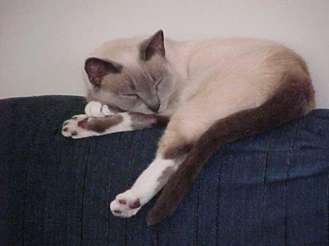 COLORS: SNOWSHOE White markings on the paws and/or on the face and chest would be termed,