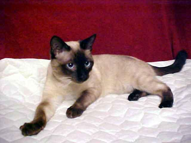 "BODY TYPES: CLASSIC Classic Siamese are the ""in the middle"" type."