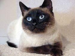 COLORS: SEAL POINT The seal point is the most commonly recognized Siamese.
