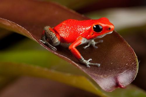 In fact, some medical researchers think that the poison from poison dart frogs could actually be used to make medicine for people. In the future, it may be used to make painkillers and heart medicine.