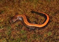 genetics Southern Red-backed Salamander