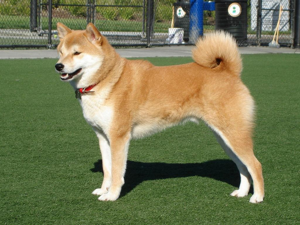 Learn the Breeds: Dog Shows The is the smallest of the six original and distinct spitz breeds of dog from Japan.