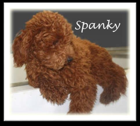 Bertie X Spanky XS CavaPooChons - (~ 10 lbs. or less) 1. Puppies Ready for New Homes Jan.
