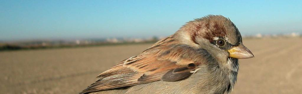 IDENTIFICATION OF HOUSE SPARROW AND