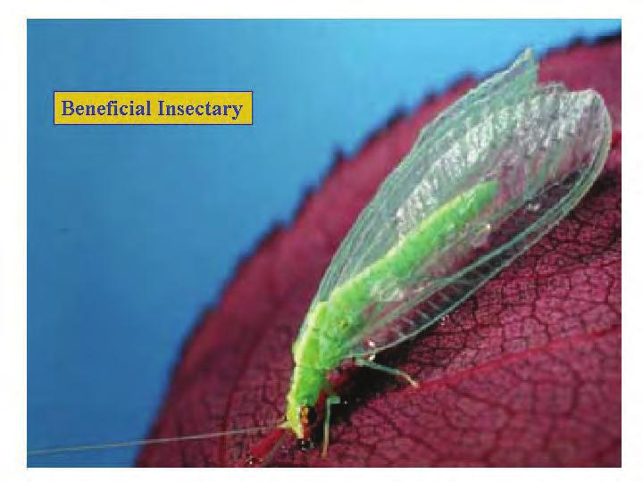 Lacewing larvae will molt within the first day or two because they are growing so quickly.