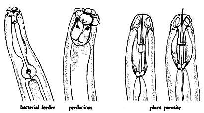 Nematode Diets and Mouths