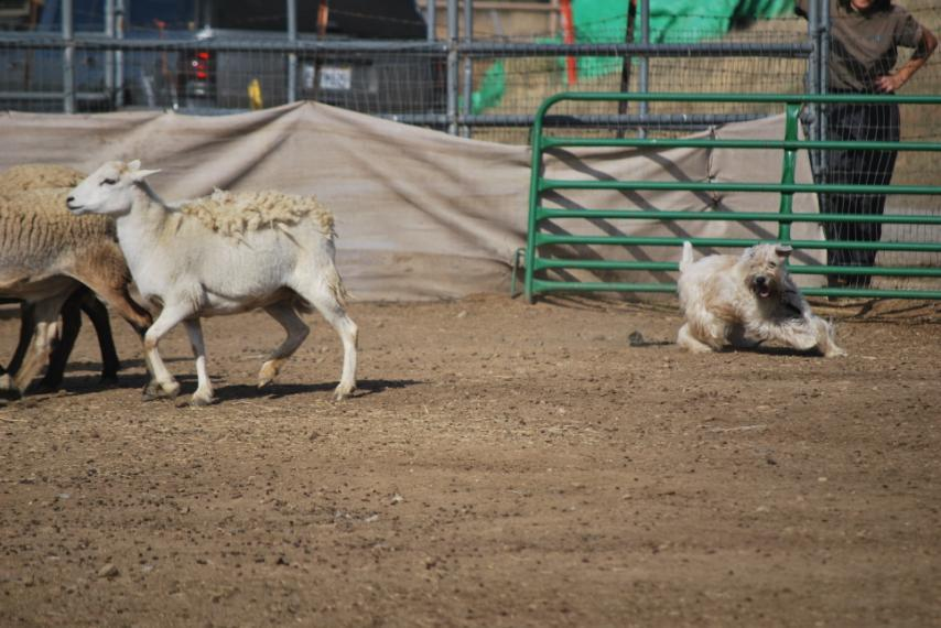 Continuing the example set by its NorCal and DelVal colleagues, the SCWT Club of Southern California (SCWTCSC) has held four consecutive annual herding instinct tests from 2006 through 2009,