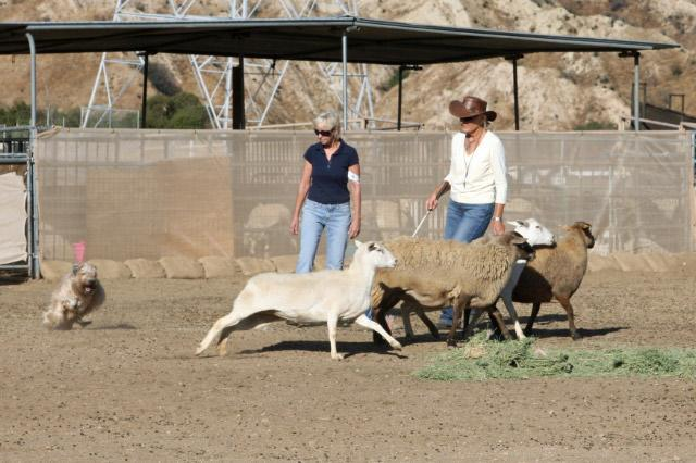 Under the expert evaluation of renowned AKC and AHBA herding judge Judy Vanderford, each annual event has continued to heighten the enthusiasm of club members for herding.