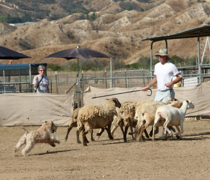 The 2009 event was the SoCal club s first sanctioned herding event, again judged by Judy Vanderford. Of 13 SCWTs, 11 qualified for their first leg of the American Herding Breed Assn.